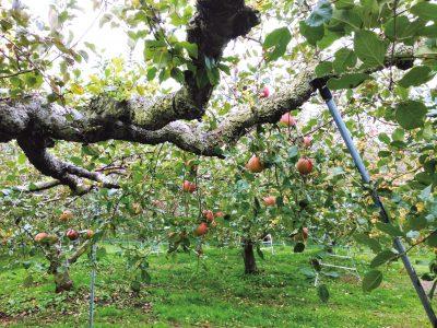 りんご狩りしてみました