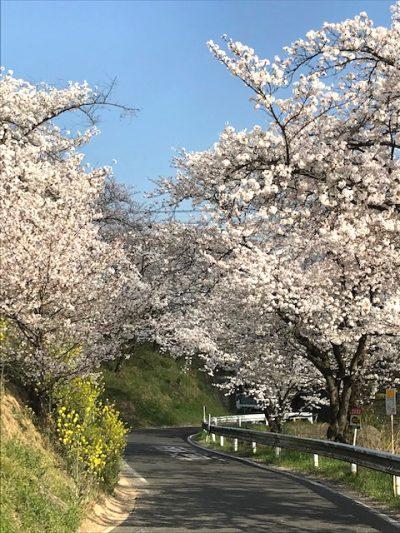 令和最初の桜、桜咲けども・・・