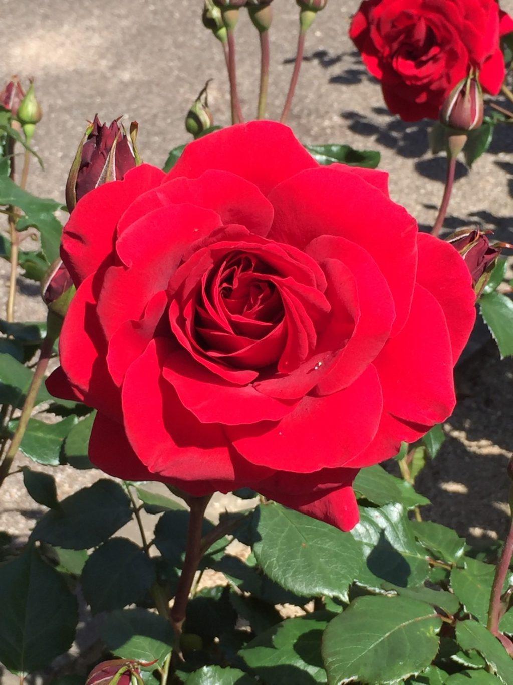 バラの綺麗な季節